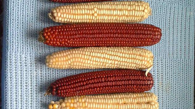Beli i crveni kukuruz - © Foto: Vladimir Milutinović