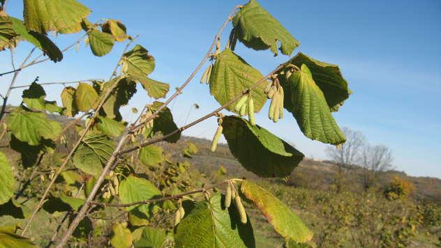 Lešnik smanjuje rizik od raka - © Agromedia