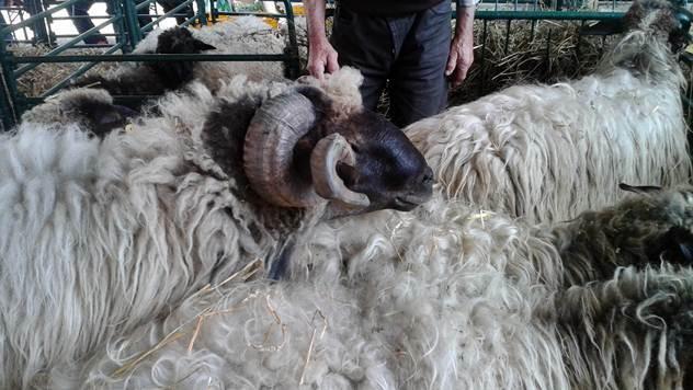 Lipska garuša - retka domaća rasa ovaca koja ne zahteva ulaganja - © Agromedia