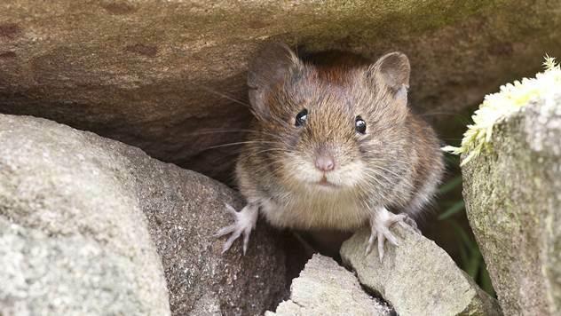Miševi su najstariji čovekovi prijatelji - © Pixabay