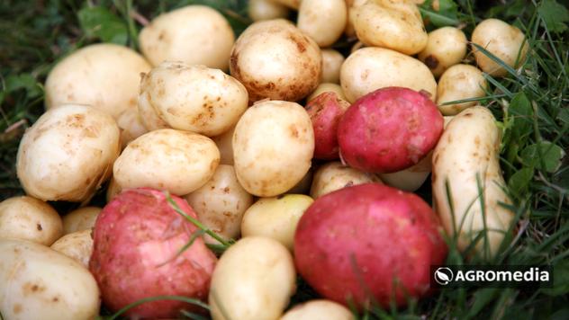 Mladi krompir © Agromedia