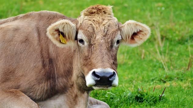 Krave moraju biti smeštene u adekvatnim objektima - © Pixabay