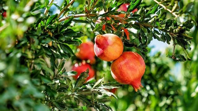 Uspešan uzgoj nara zavisi od izbora sorte i načina nege - © Pixabay