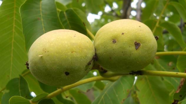 15 razloga za uzgoj oraha - © Agromedia