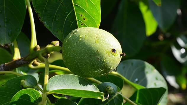 Plod oraha - © Pixabay