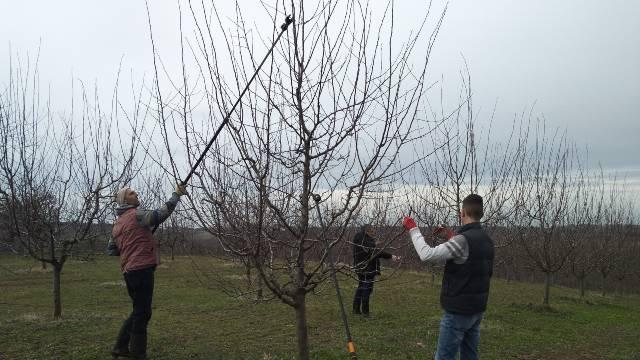 Kod uzgoja šljive prodaja najveći problem - © Dejan Davidović /Agromedia