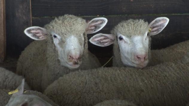 Ovce - © Foto:Agromedia
