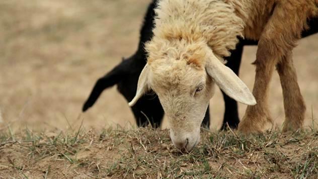 Bespovratna sredstva za razvoj kozarstva i ovčarstva u Užicu - © Pixabay