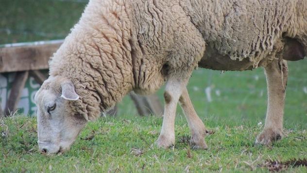 ovca © Pixabay