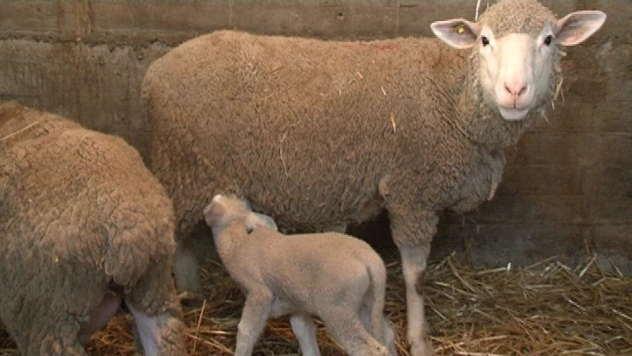 Ovca sa jagnjetom - © Foto: Danijela Janković