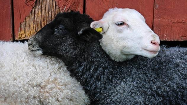 Ovce - © Pixabay