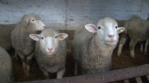 Ovce - © Foto: Danijela Janković
