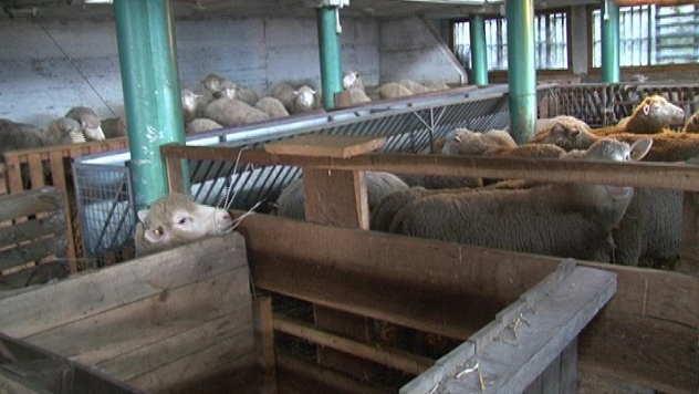 Ovce porodice Antić iz Lozne - © Foto: Danijela Janković