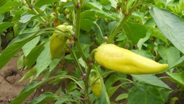 Zelena paprika - © Agromedia