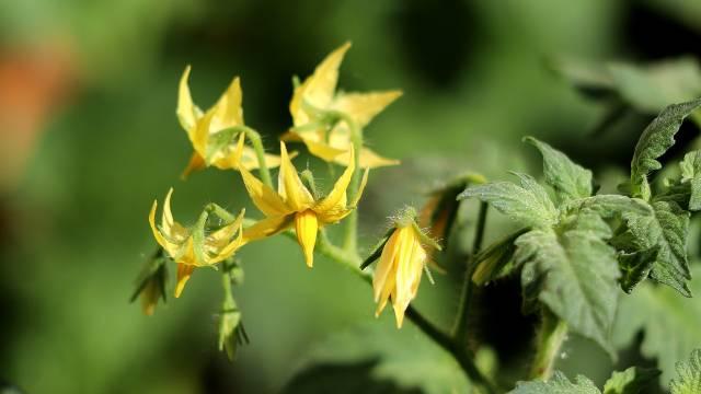 Kako da sprečite opadanje cvetova kod paradajza  © Pixabay