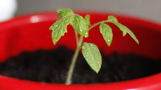 Poleganje mladih sadnica: Bolest koju možete sprečiti - © Pixabay