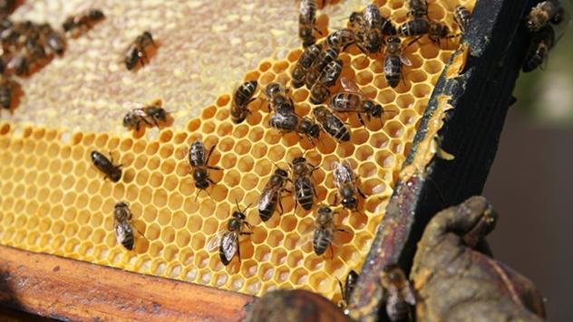 Pčele - © Pixabay