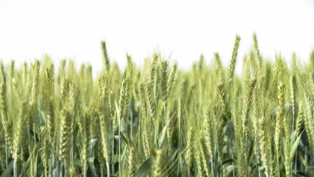 Regulatori rasta veoma važni za razvoj pšenice - © Adama