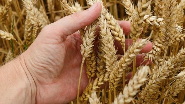 Setva pšenice - © Pixabay