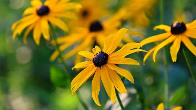 Kako se gaje pupavice: Mirisno divlje cveće koje privlači korisne insekte - © Pixabay
