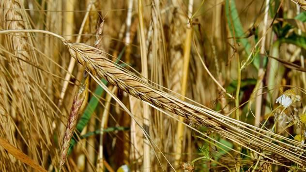 Žitarica - © Pixabay
