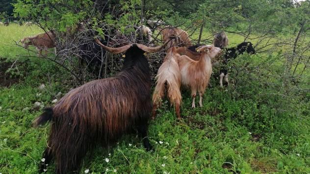 Nojeva barka starih srpskih rasa životinja na vrhu Sokolskih planina - © Dejan Davidović / Agromedia
