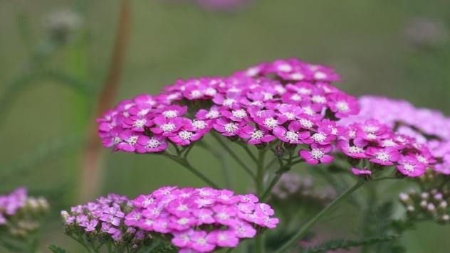 roze hajducka trava- ©Pixabay