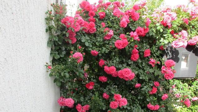 Čudesna ruža - © Foto: Danijela Jankov