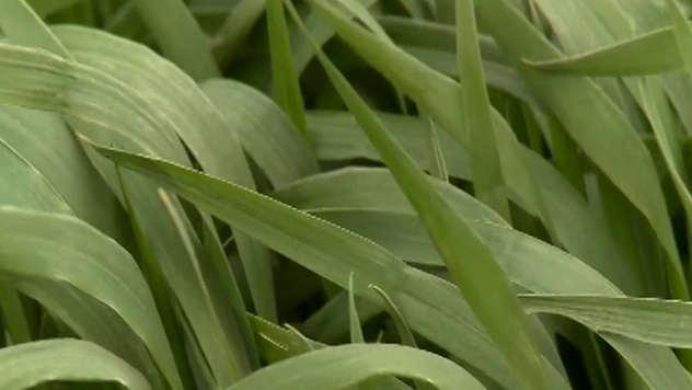 Setva pšenice - © Agromedia
