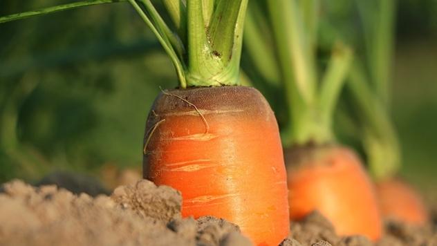 Uzgoj šargarepa © Agromedia