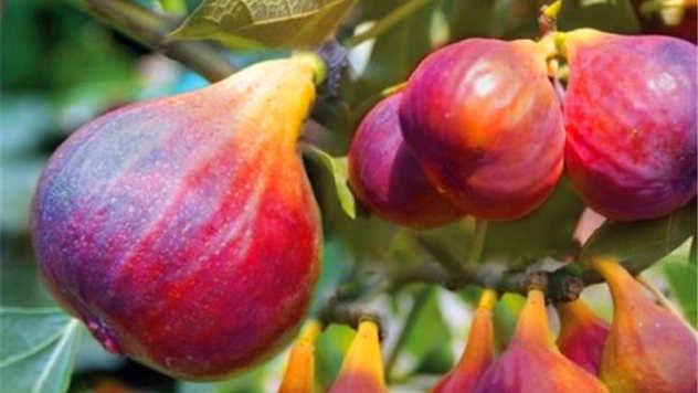 Plod smokve - © DHgate