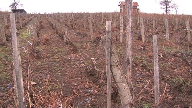 Uredno orezan vinograd - © Danijela Jovanović