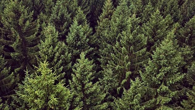 Borova šuma - © Pixabay