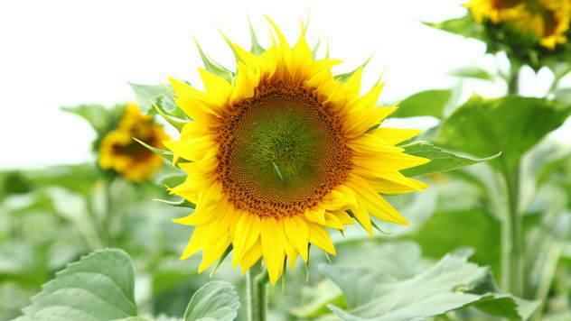 Suncokret - @Agromedia