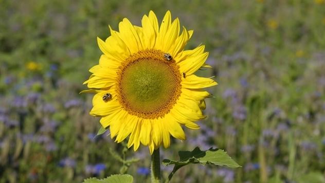 Suncokret - © Pixabay