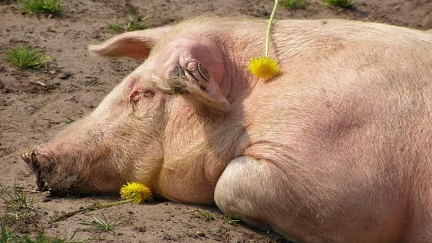 Svinje kao i ljudi mogu da sanjaju - © Pixabay