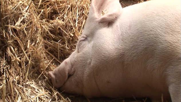 svinja - foto: Agromedia