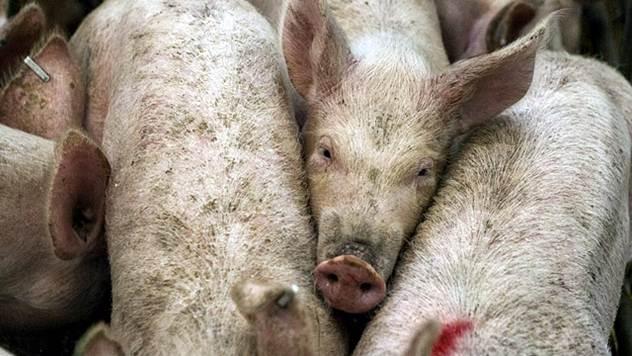 Srbija je jedina zemlja u regionu koja ne izvozi svinjsko meso - © Pixabay