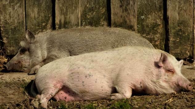 Afrička kuga u Bugarskoj: U poslednjih 20 dana usmrćeno preko 24.000 svinja - © Pixabay