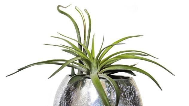 Tilandsija - dekorativna biljka kojoj nije potrebno zemljište - © Pixabay