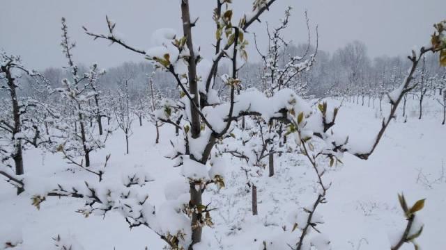 """Prvi prolećni mraz ,,obrao"""" kajsije u kraljevačkom kraju © Milanko Danilović Agromedia"""