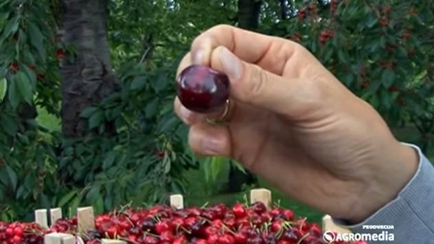 Čuvanje plodova trešnje nakon berbe - © Agromedia