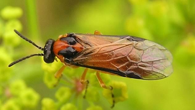 Zaštita uljane repice od štetnih insekata - © Wikipedia