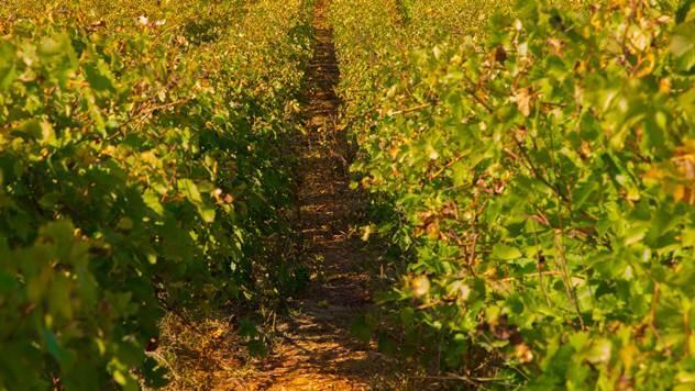 Vinograd © Agromedia