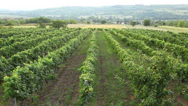 Orezan vinograd - © Agromedia