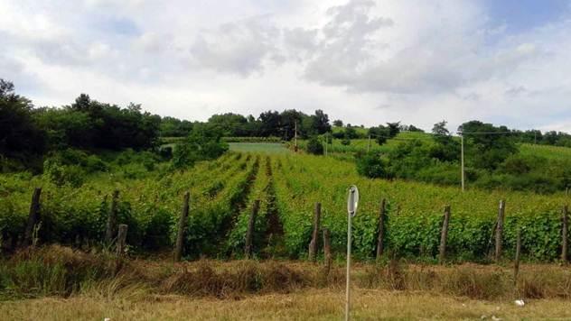 Kvalitetno vino nastaje u vinogradima - © Agromedia