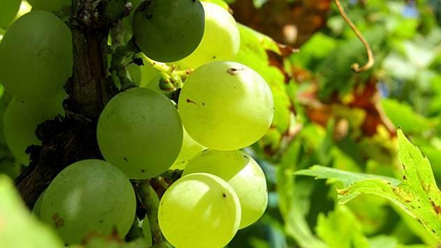 Kvalitetno vino nastaje u vinogradima - © Pixabay