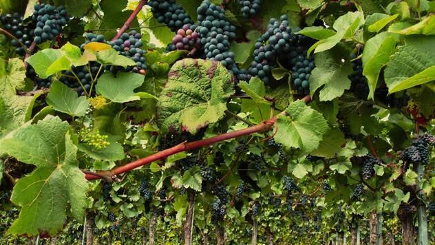Prihrana vinove loze - © Pixabay
