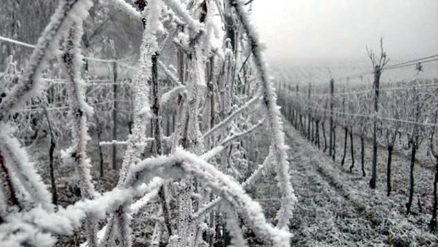 Odnegujte vaš čokot vinove loze posle mraza - © Pixabay