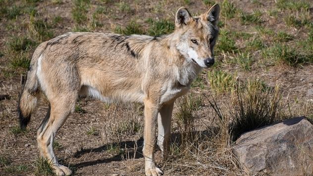 Ilustracija: Spašavanje vuka - © Pixabay